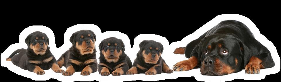 Tout savoir sur les Rottweiler
